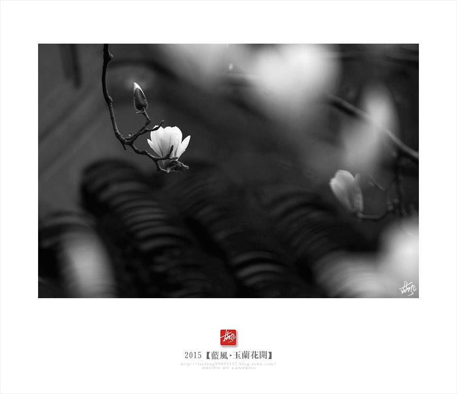 【上海】玉兰花开 - 蓝风 - 蓝风的图像家园