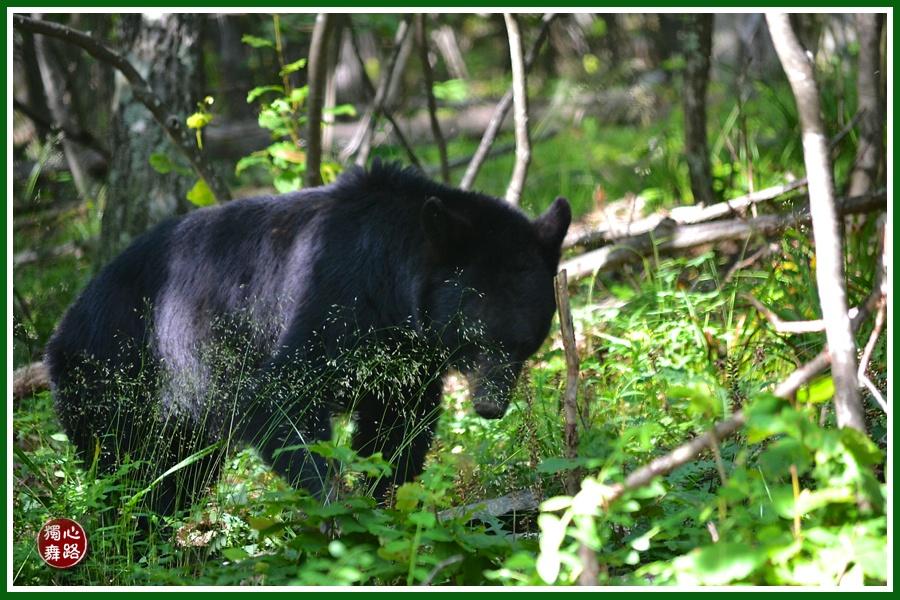 和黑熊对峙