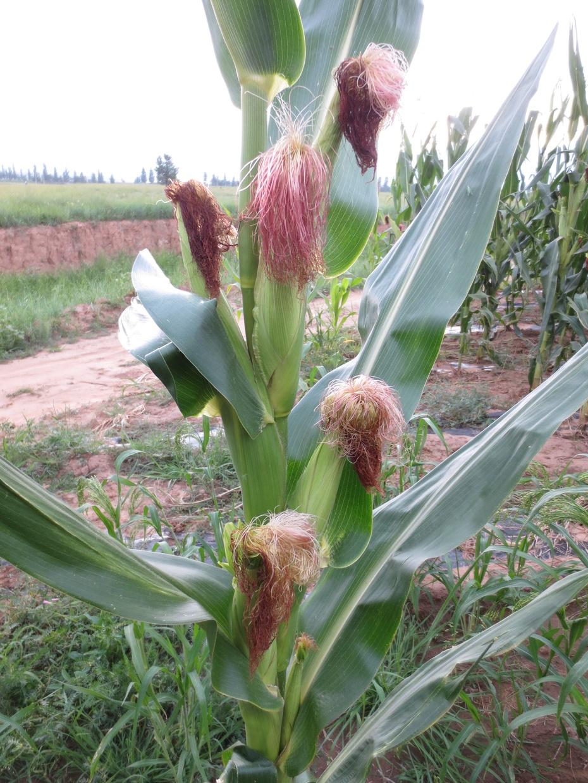 玉米返祖的联想-玉米主要病虫害交流中心-搜狐博客