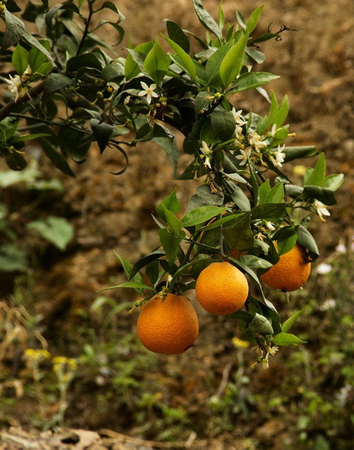 但见这里山坡上长满柑树,这是汉源特产'汉源黄果柑'.