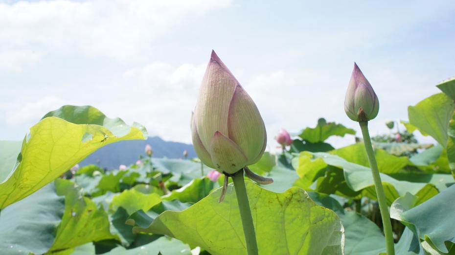 桂林江头:荷花争艳美不胜收 - 余昌国 - 我的博客