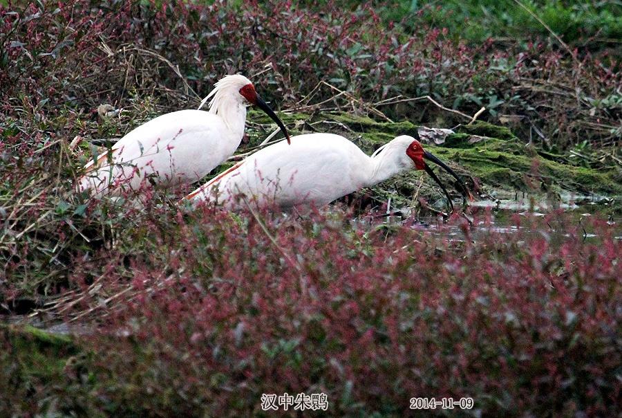实拍陕西洋县野生珍禽鸟类--朱鹮
