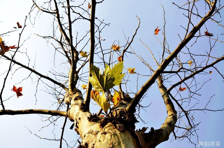 梧桐树的叶子,恋恋不舍.