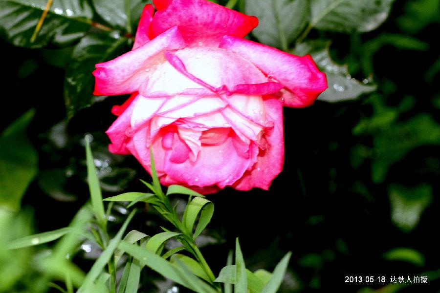 玫瑰发型步骤图解