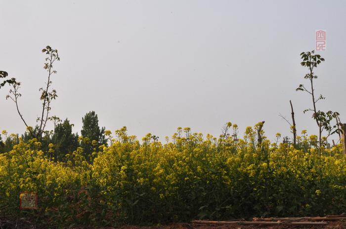 寻找鲁中油菜花(续) - 古藤新枝 - 古藤的博客