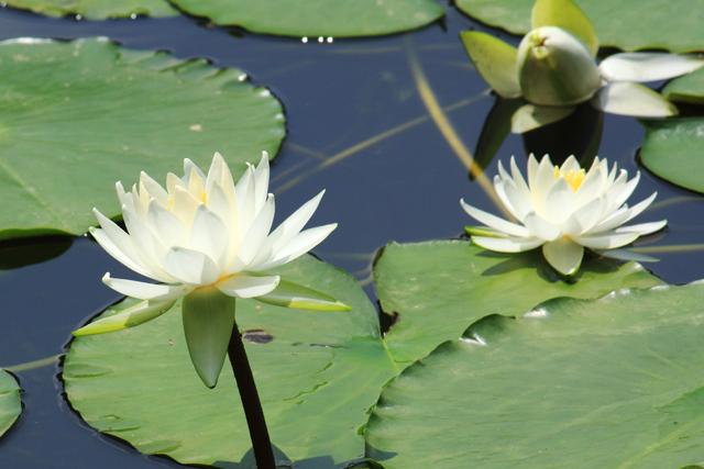 佛教徒认为莲花之中睡莲最美,所以泰国把睡莲定为国花.把睡莲当做