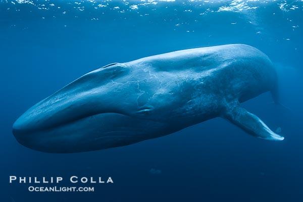每周画廊(2) 地球上最大的动物蓝鲸(1)