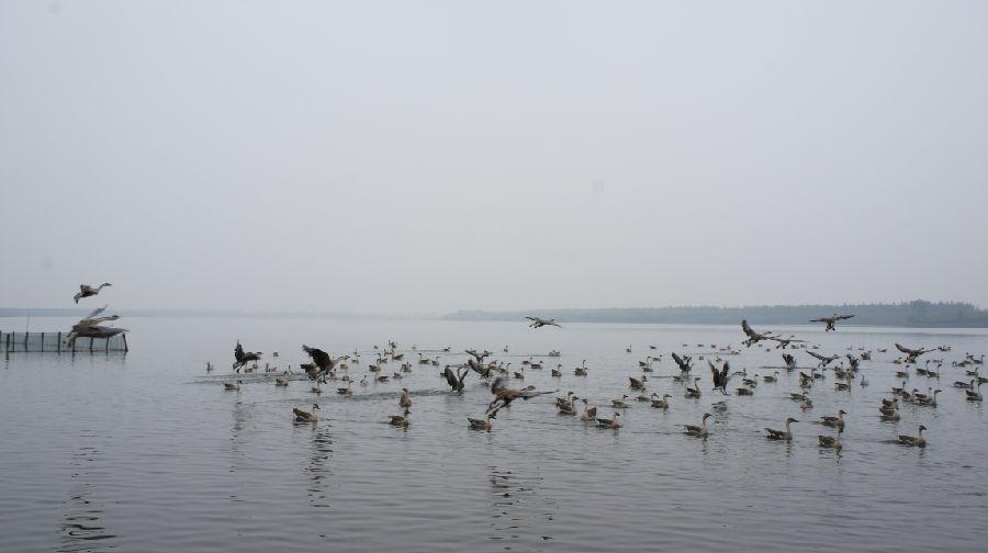 崇明岛上赏天鹅 - 余昌国 - 我的博客