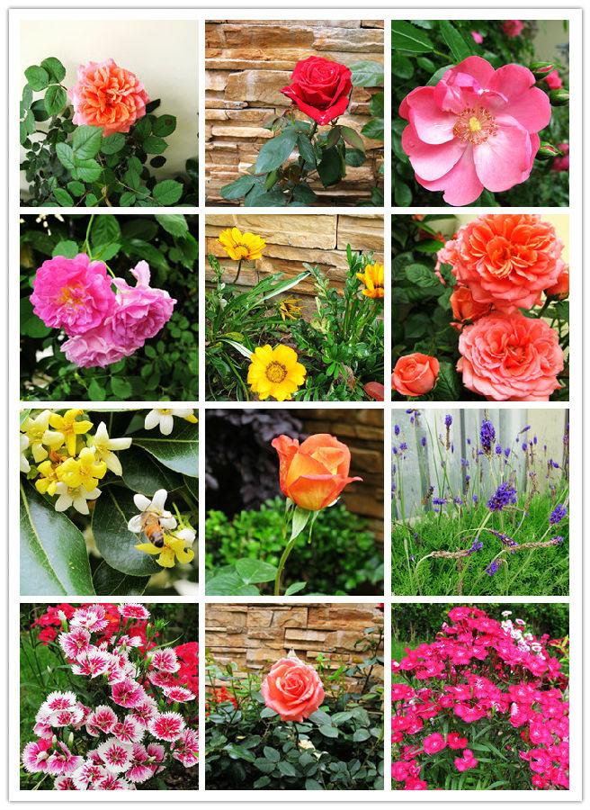 看到一种蔷薇,他们叫它爬藤蔷薇,爬在围墙上,红的花,灰的墙,相互印衬