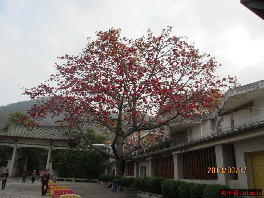 这次来厦门,第一次见到了木棉树.