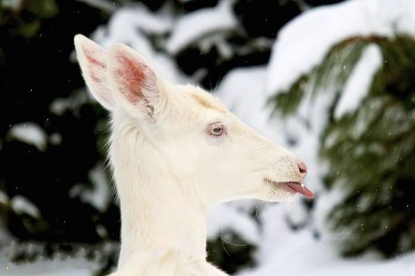 古往今来,白色的动物经常会在人类社会中占据特殊的地位。有时候,某个动物会缺乏本物种通常所具有的颜色,其原因可能是由于一种正常但非常罕见的基因突变。这类动物可能是真正的白化物种,即缺少所有的色素,具有白色的皮毛和红粉色的眼睛;也可能是轻白化,即具有白色或浅色的皮毛,但还是有少数其他色素。在许多文明的神话故事中,这些非同寻常的白色动物具有重要的意义。例如,许多人相信白色动物的诞生是一件神圣或喜庆的事情。