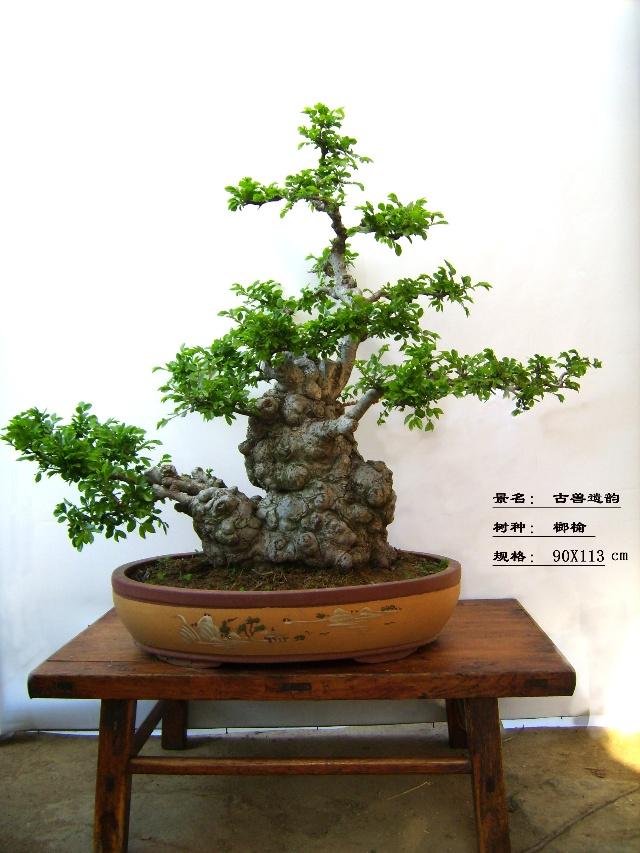 榆树盆景《幸福之家》