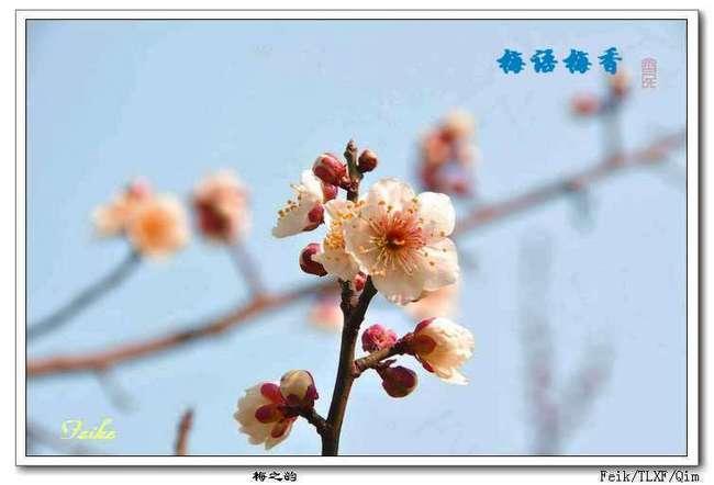 【原创摄影】梅之韵1 - 古藤新枝 - 古藤的博客
