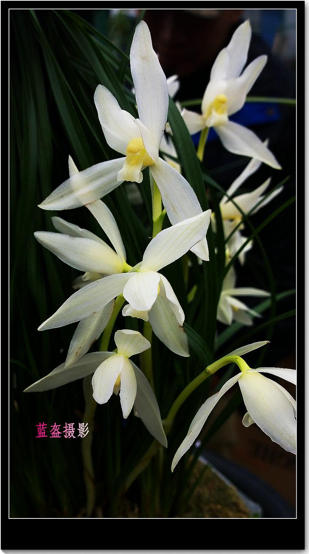 墨兰图片欣赏_兰花中的珍贵品种~~手机摄影-蓝盔-搜狐博客