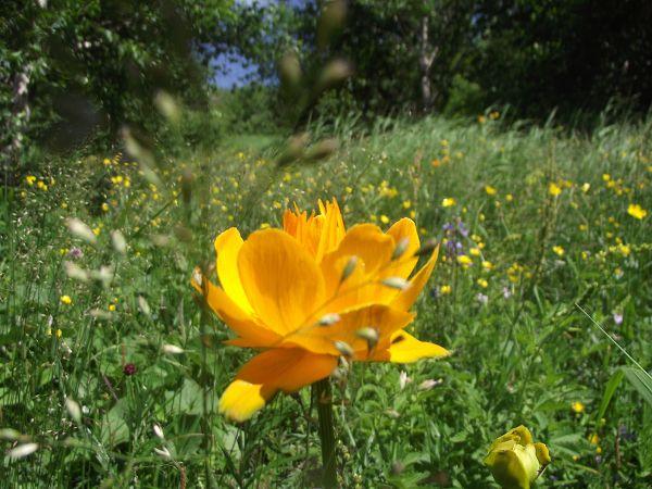 盛开的金莲花