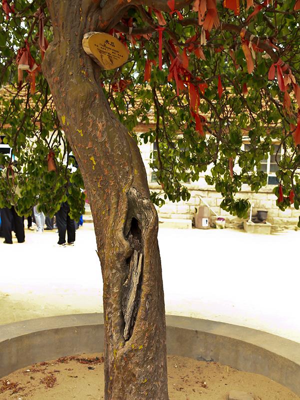 山东烟台牟平区昆嵛山上的——木瓜树