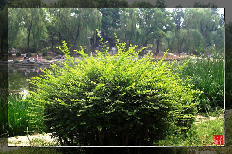 端午节——陶然亭公园一瞥 - 下午茶馨 - 下午茶馨展示页