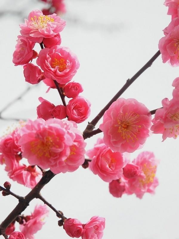 散文诗:又到桃花艳阳时           七队         杨宝坤 - zq8523 - 852农场3分场(20团3营)知青网