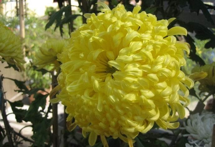 黄菊花 - 白雪 - 雪之吻