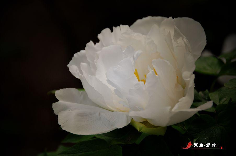 去洛阳,赴一场牡丹的约会 - 国防绿 - ★☆★国防绿JL★☆★
