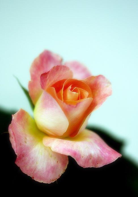 别样玫瑰 - 月亮弯弯 - 月亮弯弯的博客