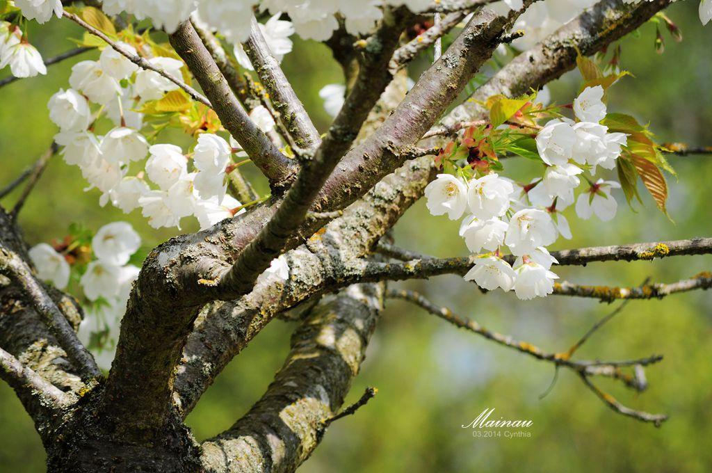 迈瑙- 德国博登湖畔最美的鲜花岛 - H哥 - H哥的博客