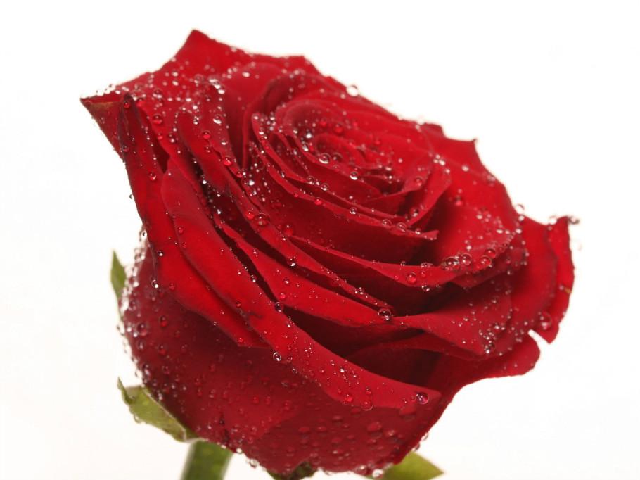 赠人玫瑰 手留余香 - 月亮弯弯 - 月亮弯弯的博客