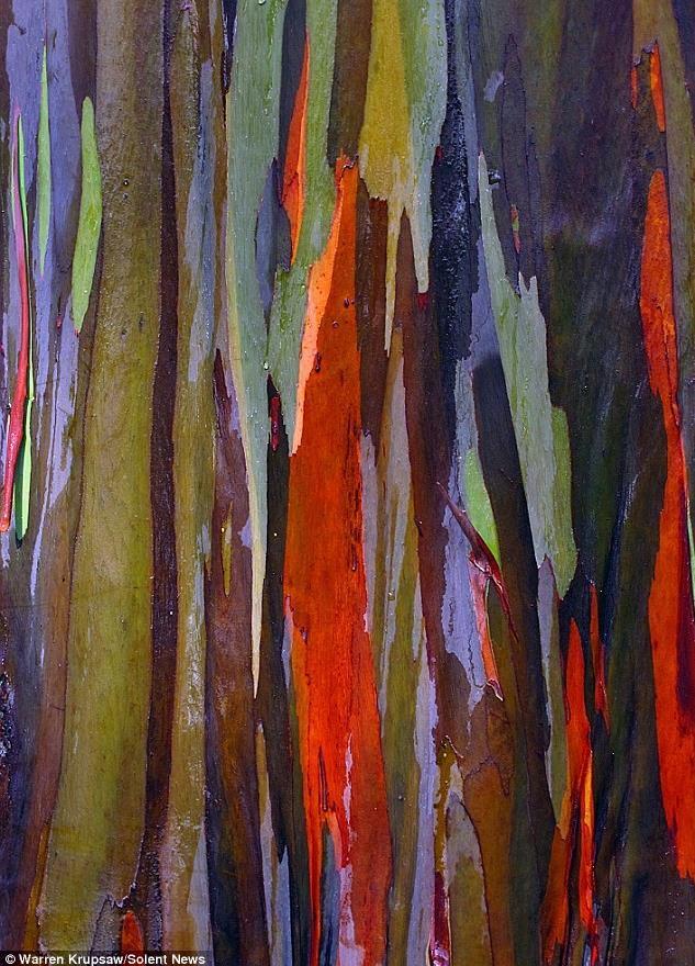 【转载】夏威夷彩虹桉树树皮色彩斑斓犹如油画