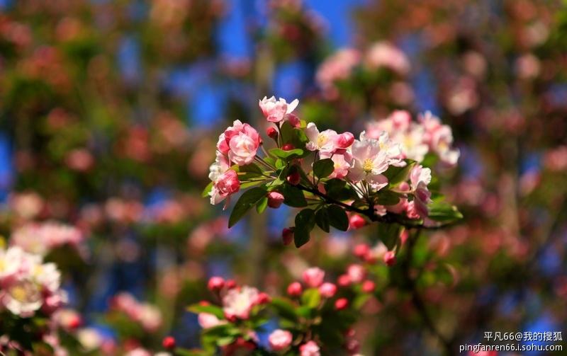 七絕·詠桃花·海棠 - 雲卷雲舒 - ashiadu的博客