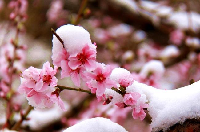 桃花雪 - 古藤新枝 - 古藤的博客