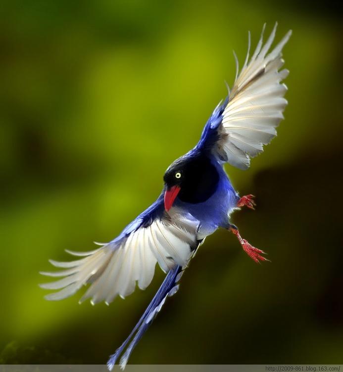 蓝 色 妖 姬 翩 翩 起 舞 精品