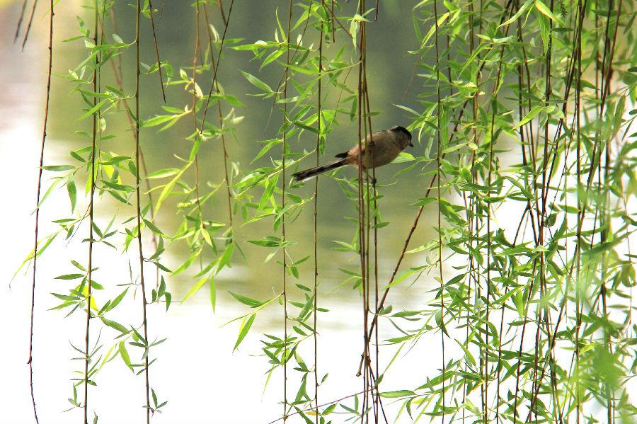 春天来了,小鸟在欢唱