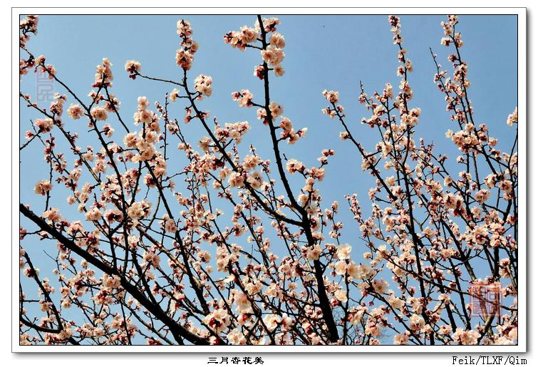 本齐杏花记行4---娇美杏花 - 古藤新枝 - 古藤的博客