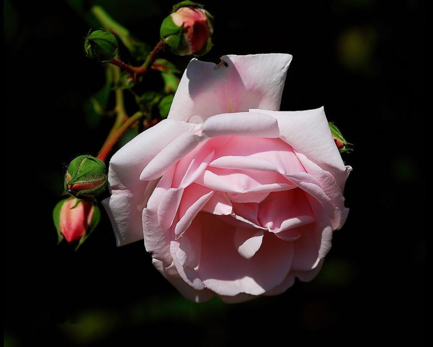 多 彩 的 蔷 薇 花