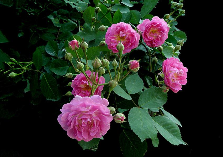 蔷 薇 花