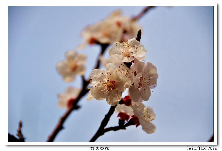 三月杏花美 - 古藤新枝 - 古藤的博客