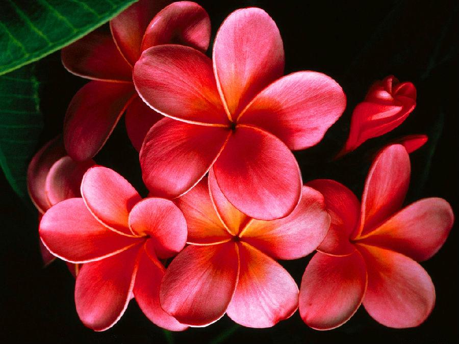 世界最漂亮的花_艺术的花 一克拉恋人99