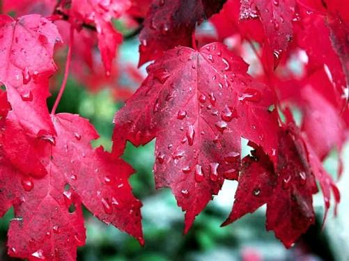 秋深叶更红  - 白雪 - 雪之吻