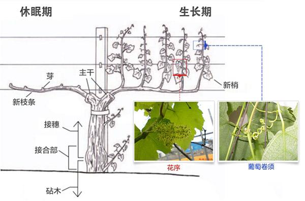 一颗素描葡萄的画法步骤图