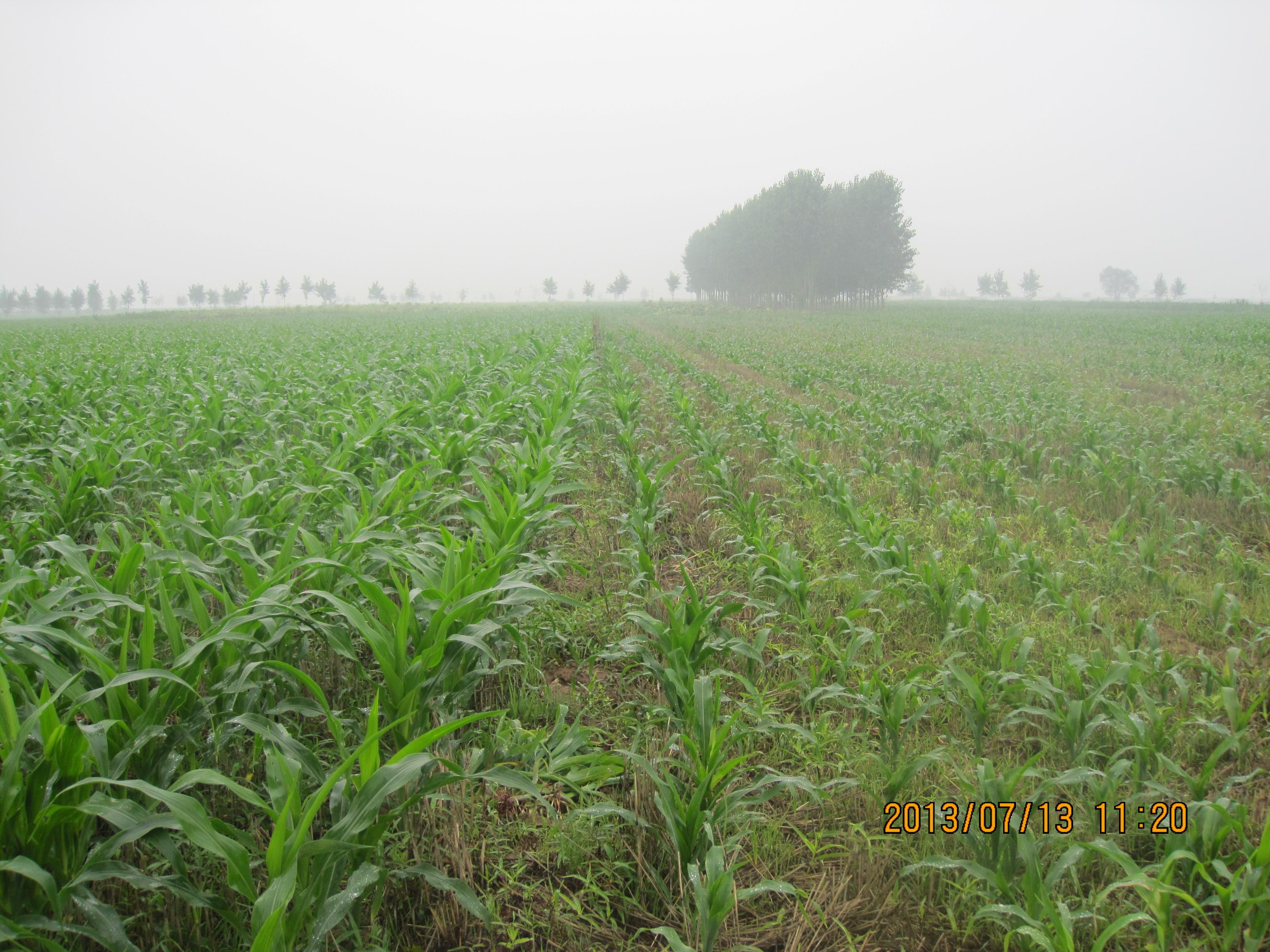 玉米组合试验地-玉米主要病虫害交流中心-搜狐博客
