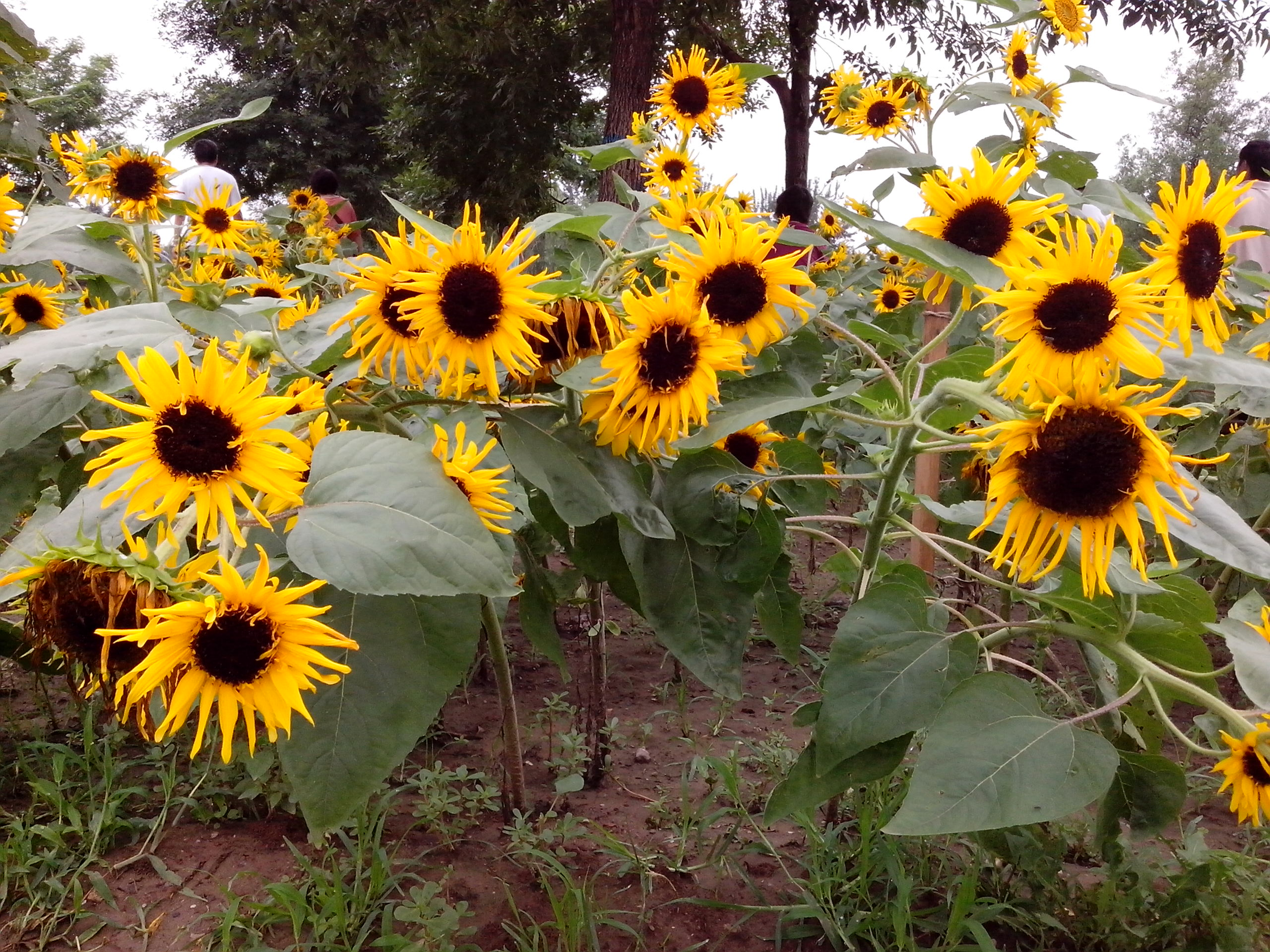 梵高 向日葵