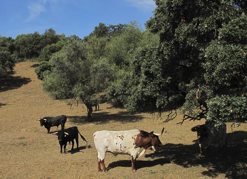 """西班牙乡村有很多的牛牧场,主要功能之一就是为斗牛场提供""""牛"""