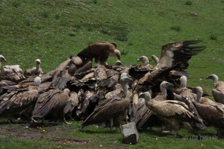 西藏珍惜动物图片