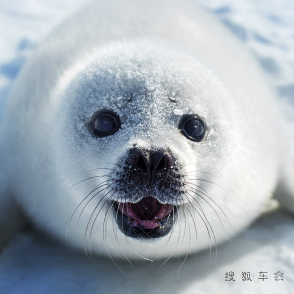 """的地方有种""""白毛""""海豹"""