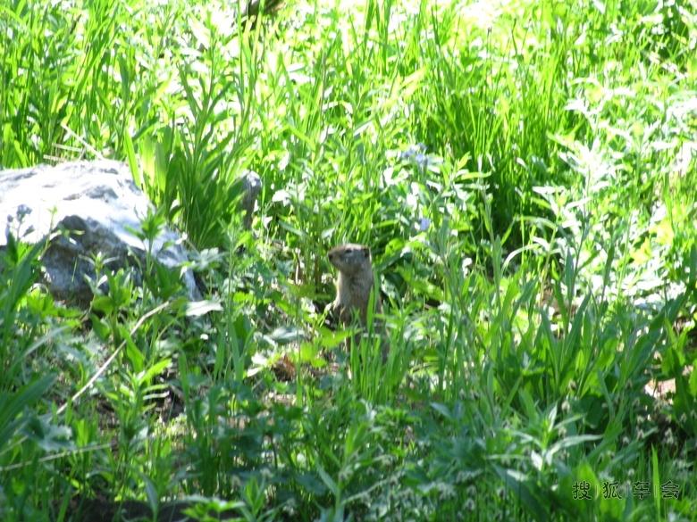 小棉工程谷中的土拨鼠白杨制冷设备上海丰科图片