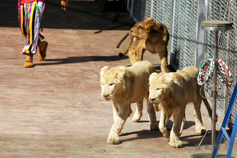 出游北京野生动物园之------狮子表演!