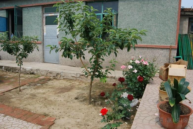 苹果树和月季花,花一会就让儿子给报销了