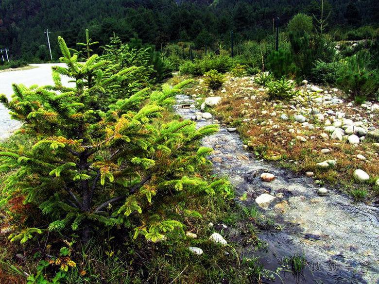 这里的松树,杉树等树木,和湖区是原始森林不同,树身不粗壮,树冠翠绿.