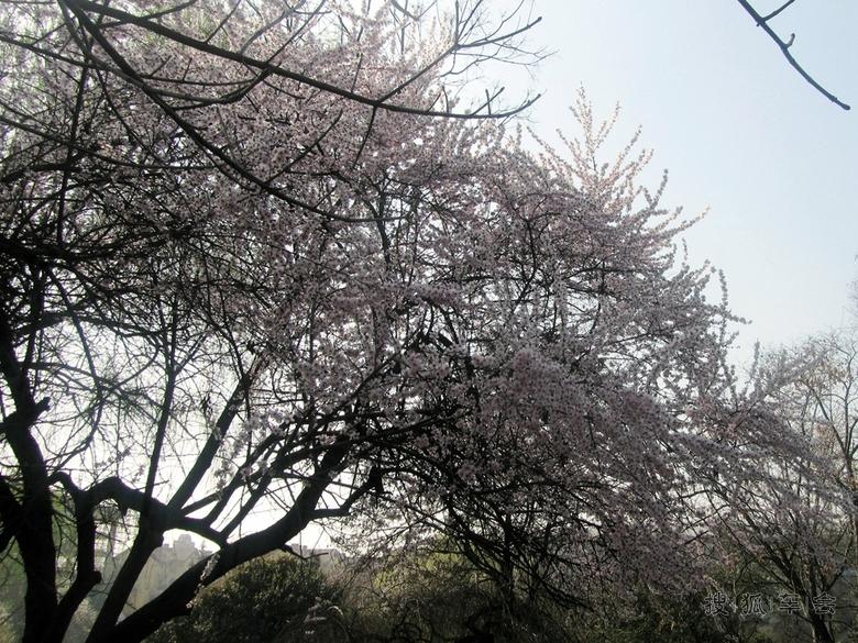 山桃除了观赏树种外,在华北地区