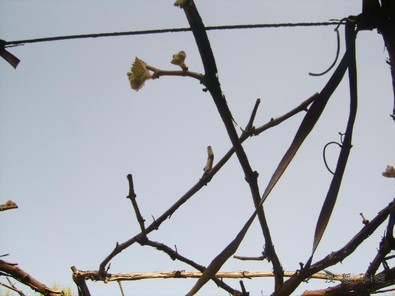 春天果树发芽时鸟类图片大全